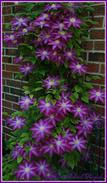 Clematis vine ~ the best flower for your money. These babies come back every year. Grow up a trellis or small.