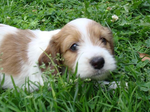 havanese cross w miniature wirehaired dachshund: I didn't ...