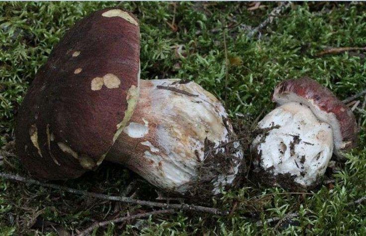 Tout ce qu'il faut savoir avant d'aller chercher des cèpes (et en trouver) - Sud Ouest.fr