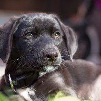 #dogalize Cura del glaucoma nel cane: sintomi e trattamento #dogs #cats #pets