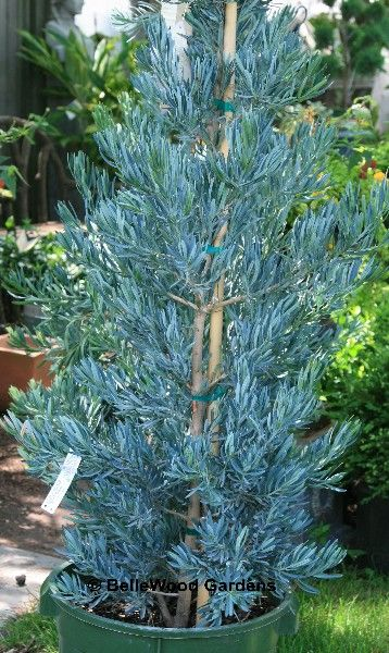 """Podocarpus elongatus """"Icee Blue""""; The first Podocarpus with distinctive blue foliage! New growth is lime-gray-blue maturing to a cool gray-blue-green. Evergreen. Zone 9-11. Partial to full sun. Slow growing to 15-25 ft. tall by 15-25 ft. wide. Known as yellowwood. South Africa national tree. Its habitat is in riverbeds, surviving much like American cottonwoods on residual moisture deep underground in the dry season. This South African native has produced few cultivars."""