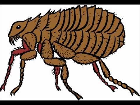 El piojo y la pulga - YouTube