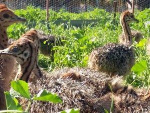 ostrich-chicks-Safari-Ostrich-Farm-Oudtshoorn