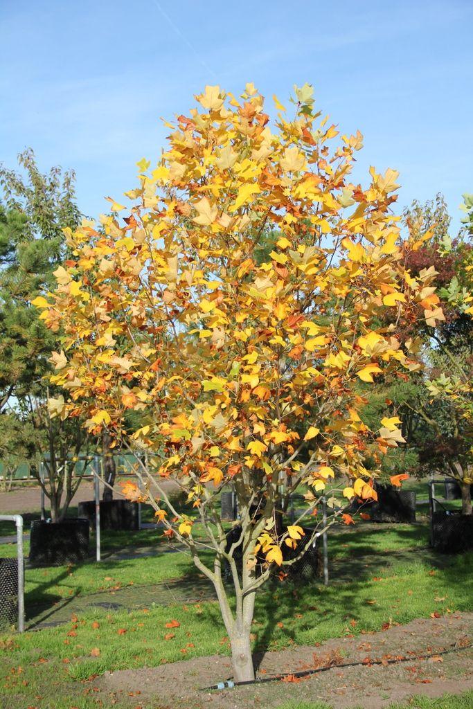 Onwijs Liriodendron tulipifera | Snelgroeiende bomen, Bostuin, Fruitbomen VY-66