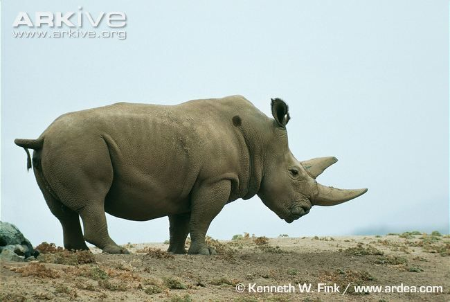 Male northern white rhinoceros