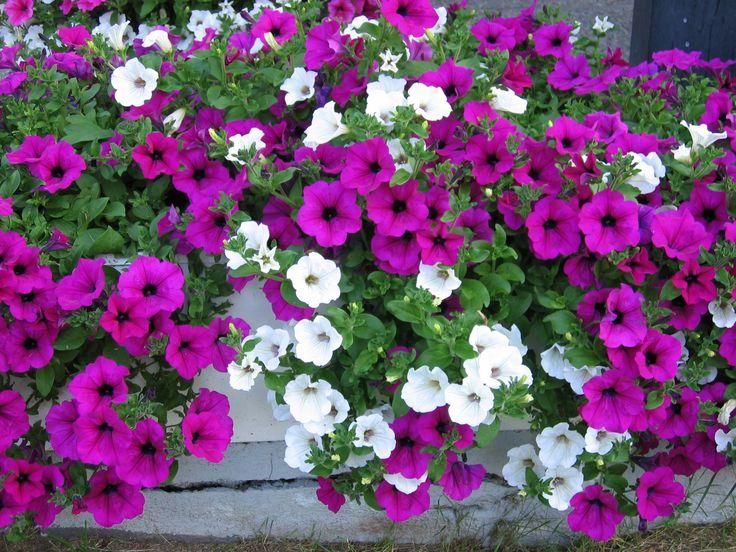 Riippupetuniat 'Surfinia Purple' ja 'Surfinia White'