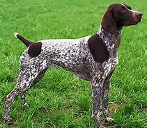 A hard-driving hunting dog possessing stamina, courage, and the desire to go, the Pointer is bred primarily for sport afield and definitely looks the part. He gives the impression of power and grace, with a noble carriage, an intelligent expression and a muscular body. His short coat can be liver, lemon, black, and orange; either in combination with white or solid-colored.