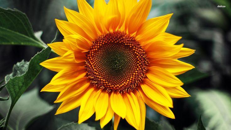 sunflower - Pesquisa Google