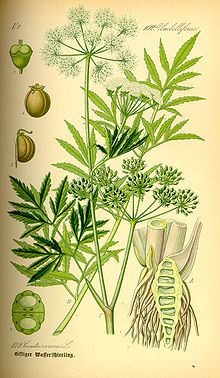 Water hemlock grows near stream banks, wet meadows, wet marshy areas (toxic- not for consumption. Is often confused with queen anne's lace / wild carrot). I have one or the other in a pasture & that I'm trying to identify.