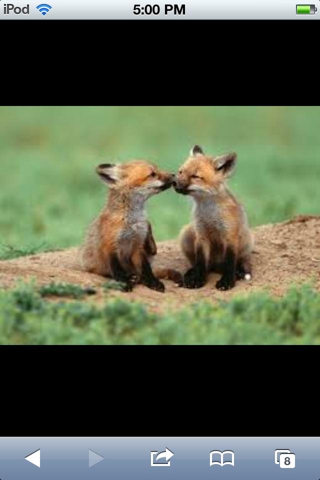Awwww foxes