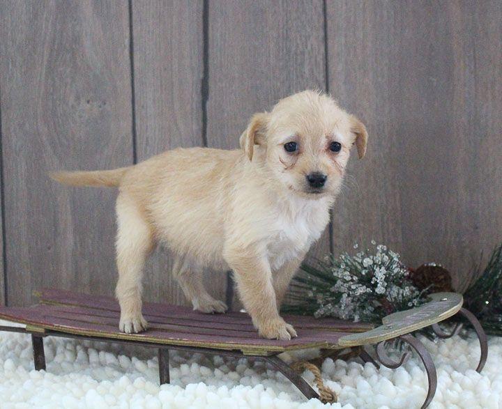 Lori Vip Puppies Puppies Mini Labradoodle Puppy Labradoodle