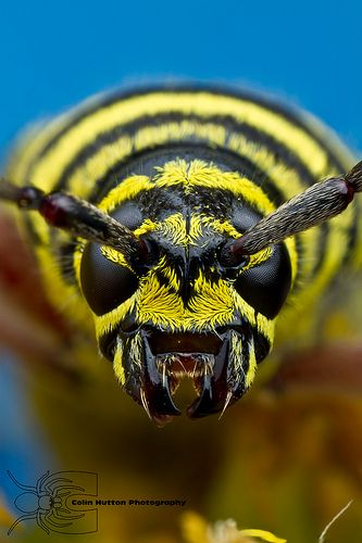 Megacyllene robiniae | by Colin Hutton Photography