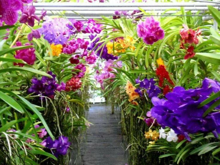 193 Best Images About Vanda Orchids On Pinterest Purple Orchid Flowers And Purple Orchids