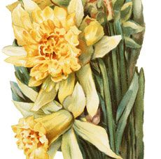 Isn't this lovely?! Shown here is a Pretty Vintage Daffodils Image. This Image shows a lovely bouquet of bright yellow Daffodils, all bundled up into a pretty Bouquet, and tied up with some white Ribbon. So nice for your Spring themed Card or Craft Projects! For even more lovely Vintage Flower Images, be sure and check out...Read More »