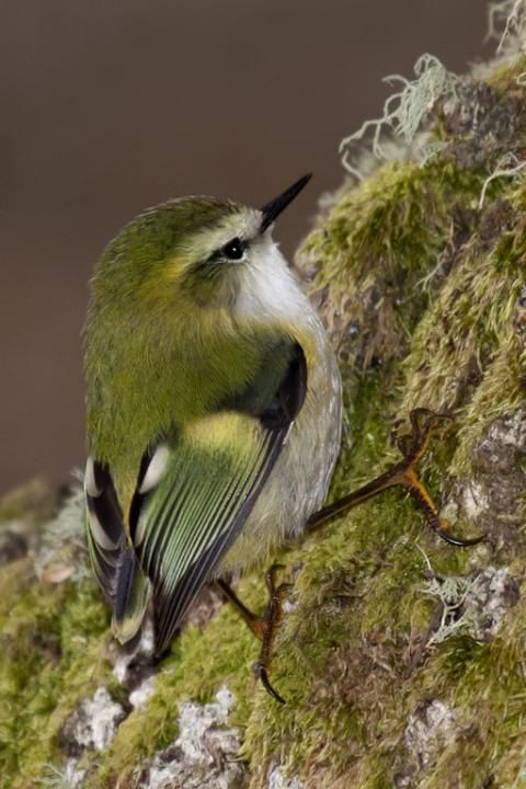 Rifleman (Acanthisitta chloris) (Māori: Tītipounamu) is a small insectivorous passerine bird that is endemic to New Zealand. It belongs to the Acanthisittidae family, also known as the New Zealand wrens, of which it is one of only two surviving species. The Rifleman resembles a wren in form but is not related to the family of true wrens, Troglodytidae, nor the fairy-wrens of Australia.