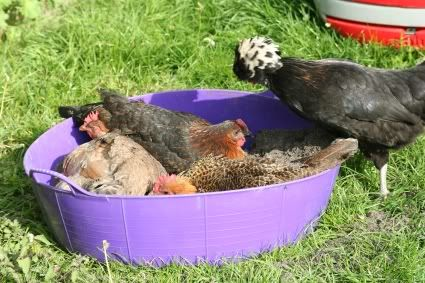 Chicken dustbath - wood ash and potting compost