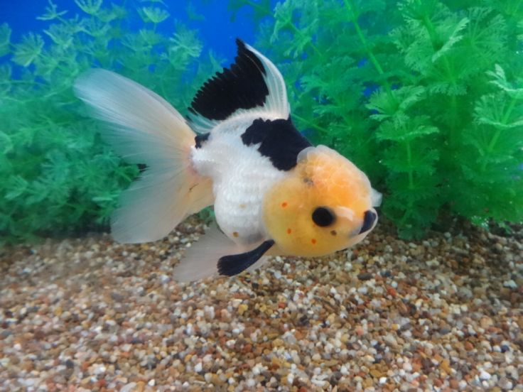 Lot# 11221 Black & White Oranda with red polka dots on it faces and cute pompons