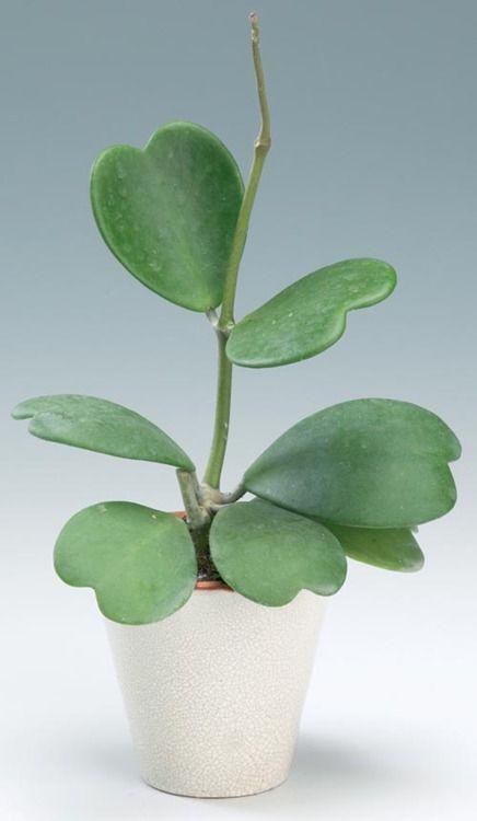 Hoya kerrii - on la voit toujours avec une seule feuille plantée dans la terre, mais la plante entière est bien plus intéressante.