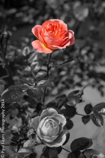 The essence of a rose 2