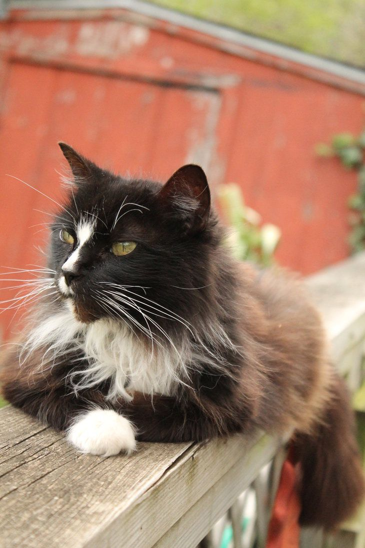 145 Best Tuxedo Cats Images On Pinterest Kitty Cats