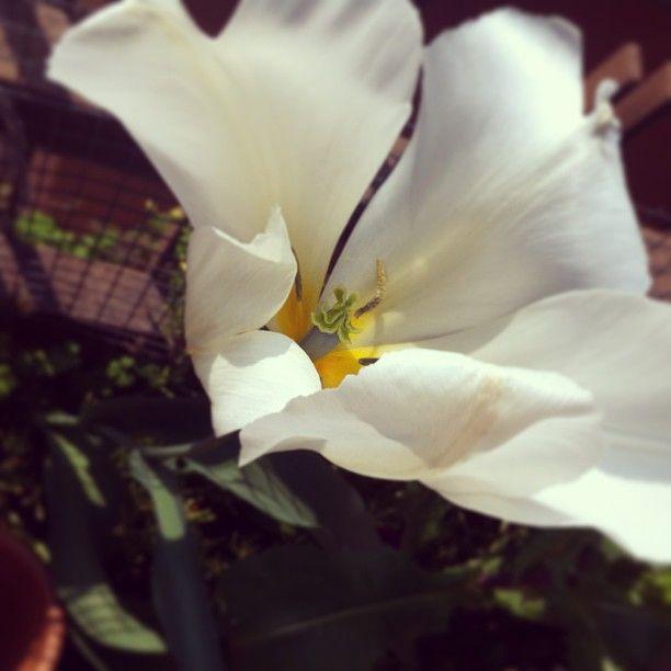 White flower. #spring #flower #plant #instagood #instamood #igersitalia #igersbrescia #iphonography