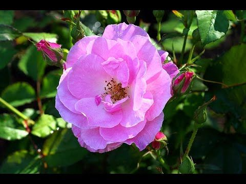 wild rose - wild rose cleanse - wild rose flower