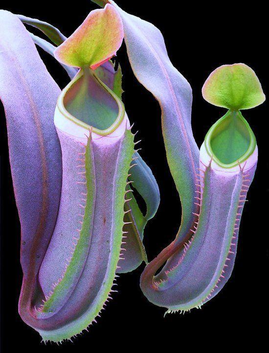 Carnivorous Plant http://www.pinterest.com/pin/318137161149886192/