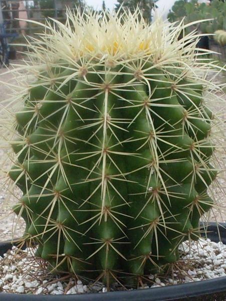 Golden Barrel Cactus | Cactus King                                                                                                                                                                                 More