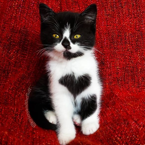 Best Cute Cats Images On Pinterest Cats Creative And Dogs - The internet has fallen in love with zo the cat that wears her heart on her chest