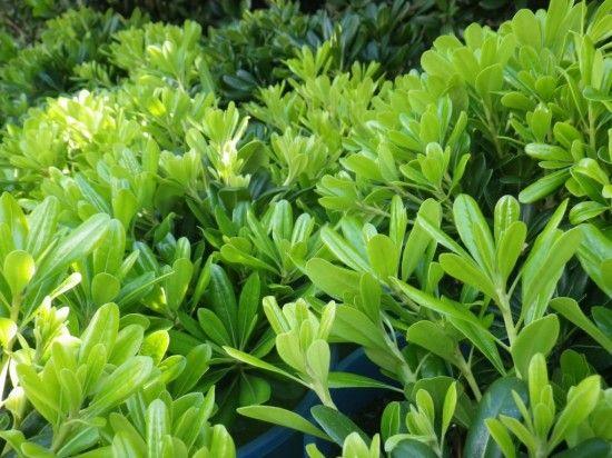 Pittosporum Miss Muffett - Landsdale Plants
