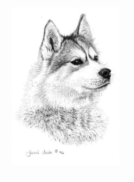 11 x 14 siberian husky art print from original pencil. Black Bedroom Furniture Sets. Home Design Ideas