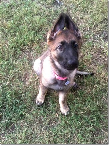 Female German Shepherd Puppies For Sale All of our dogs and puppies receive regular veterinary care and routine health checks. All puppies are sold with a written guarantee Call Us For More Info. Phone: 914.420.5192 E-Mail: nevadahausgsd@yahoo.com #ForSaleGermanShepherdPuppies #AvailableGermanShepherdPups #GermanShepherdPuppies #VeterinaryCheckedGermanShepherdPups HealthGuaranteedPuppies