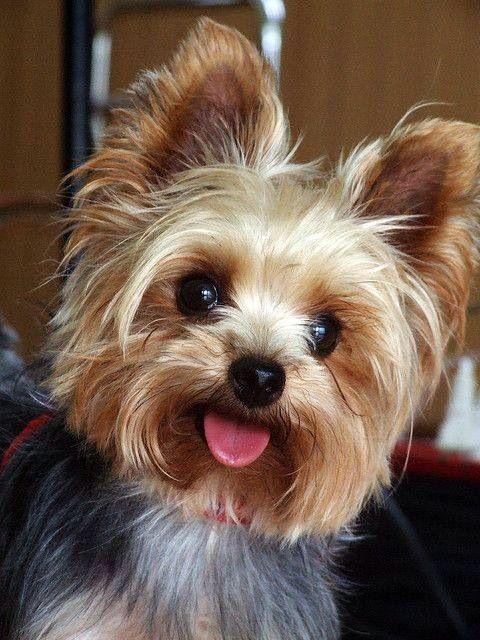 Love that Yorkie smile! re-pinned by yorkiechecks.com yorkshire terrier…
