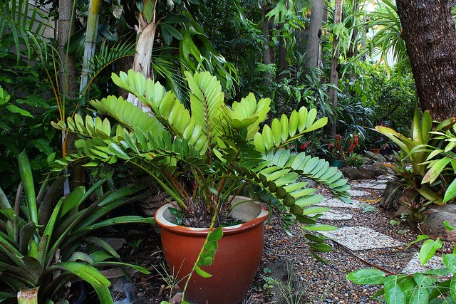 34 best folhas zamia images on pinterest leaves palm for Planta ornamental zamia
