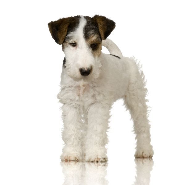 Fox Terrier Puppy