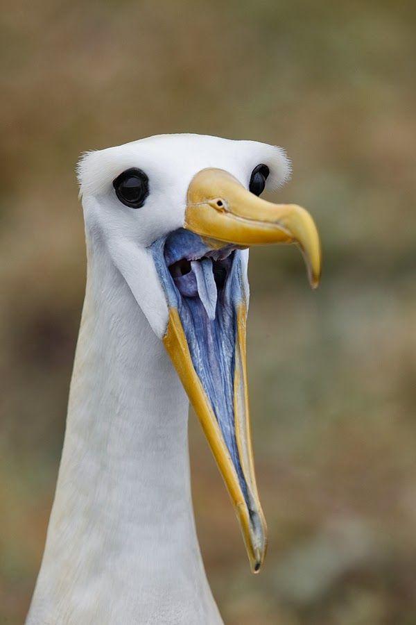 ** Waved Albatross