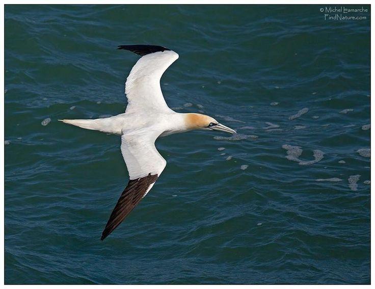 Fou de Bassan - Morus bassanus northern gannet