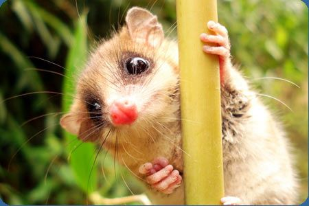 The monito del monte is a tiny marsupial that lives in the Chilean Andes.