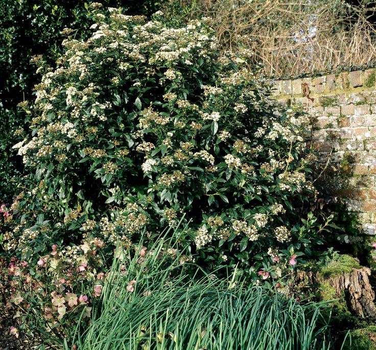 """83- Laurier tin: planter et tailler – § JARDIN LE NÔTRE: ... sapins, épicéas, houx, chênes verts, pyracanthas, LAURIERS-TINS, cyprès et buis en boule pour masquer les murs et, près des 6 grands portiques en treillage d'osier et de châtaignier, sont cités: chèvrefeuille """"romain"""", lilas blanc et rouge, seringas, giroflées doubles et rosiers de Gueldre (viornes).-"""