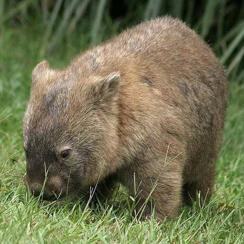 Wombat. They love eating the grass near by bedroom window at night