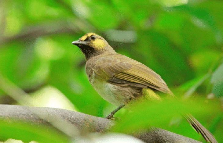 Mengetahui Ciri Khas Burung Cucak Wilis Dan Perawatannya Burung Burung Elang Burung Cantik