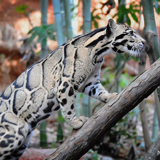 Clouded Leopard, stunning
