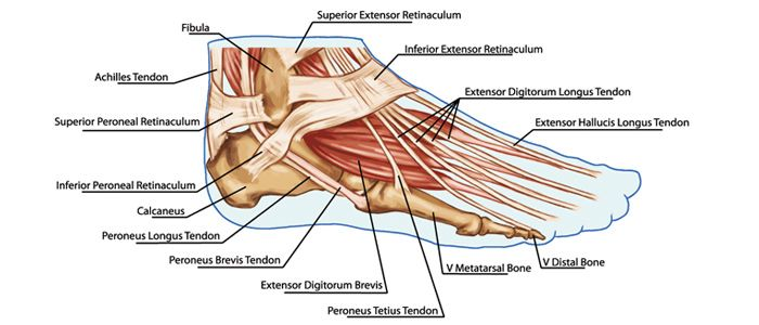 foot muscles and tendons diagram google search bones muscles pinterest we hand anatomy. Black Bedroom Furniture Sets. Home Design Ideas