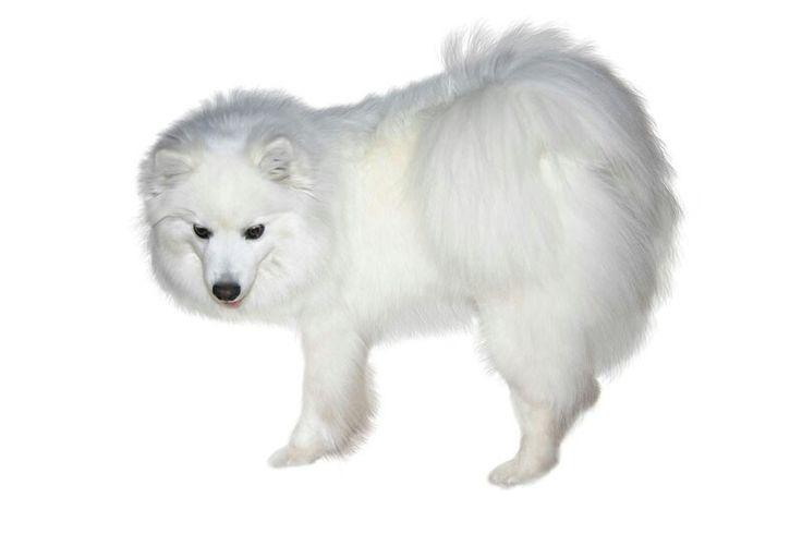 49 best greenland dog images on pinterest