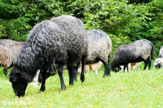 Owca wrzosówka – doskonałe zwierzę na wypas usługowy! - Rynek Rolny