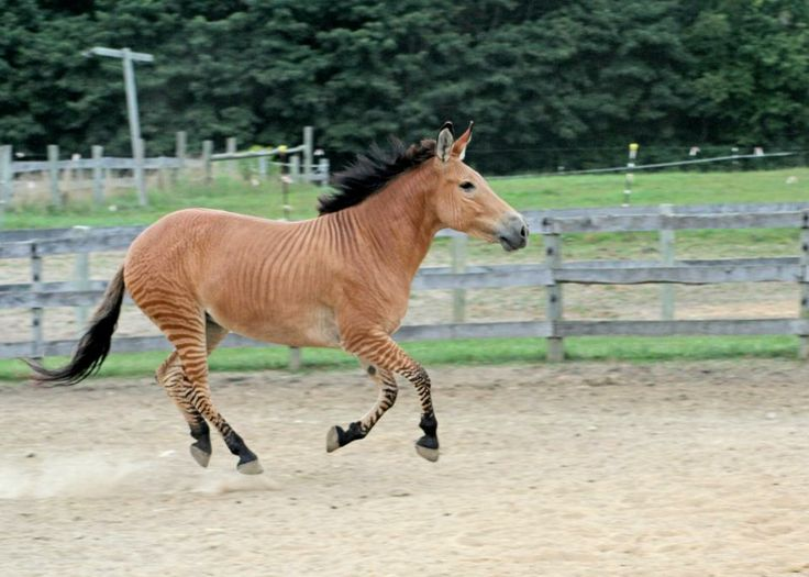 Zelda the Zorse ~ half horse and half zebra | Animals ...