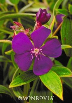 """Athens Blue Princess Flower """"Tibouchina"""" urvilleana 'Athens Blue' Beautiful, tropical look from an evergreen shrub with flowers deeper purple than the species. Upright, open-branched habit useful as hedge, screen or accent. Good around pools.  Zones 10 - 11.  Partial to full sun."""