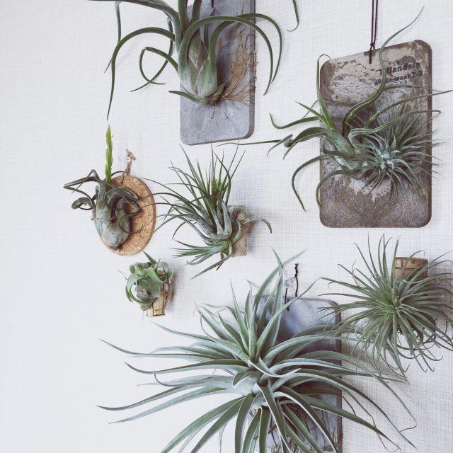 Bedroom/エアプランツ/チランジア/観葉植物/植物のインテリア実例 - 2015-07-28 21:01:58 | RoomClip(ルームクリップ)