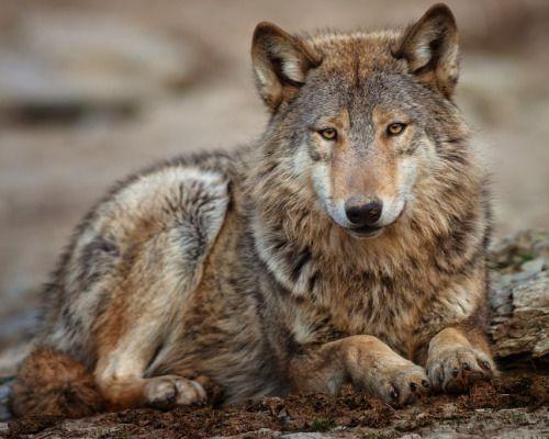 Wolf by Stefan Betz