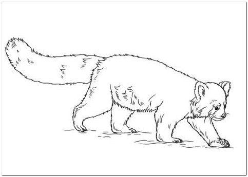 Coloring Page Base Coloring Pages Red Panda